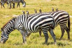 Les zèbres ont repéré le pâturage dans la région sauvage image libre de droits