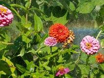 Les zinnias colorés multi dans un jardin luxuriant sous une arroseuse avec de l'eau se laisse tomber partout Images stock