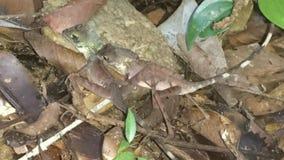 Leschenaultii d'Ophisops - paires de ` de katussa de ` Photographie stock