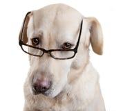 Leseglas-lustiger Hund Stockbilder