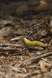 Lesma amarela brilhante de Bananna Imagem de Stock