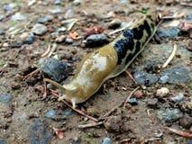 Lesma da banana - columbianus de Ariolimax Fotos de Stock Royalty Free
