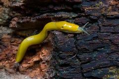 Lesma da banana em uma árvore caída da sequoia vermelha Fotografia de Stock