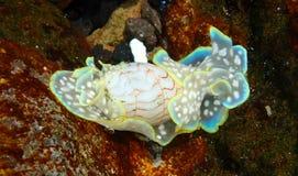 Lesma de mar Fotografia de Stock