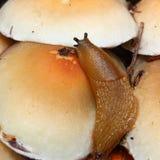 Lesma no cogumelo do topete do enxofre Fotografia de Stock Royalty Free