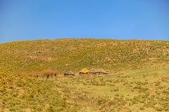 Lesotho koja, Afrika Royaltyfri Foto