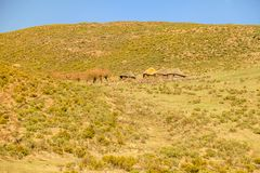 Lesotho koja, Afrika Arkivbild