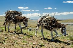 Lesotho Roads Letseng. Donkeys carry firewood to the village Royalty Free Stock Photography