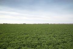 Lespedeza landbouwbedrijfgebied Stock Foto