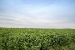 Lespedeza landbouwbedrijfgebied Stock Fotografie