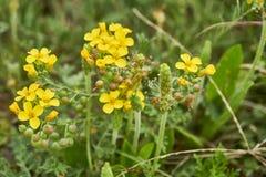 Lesquerella gordonii, Gordons Bladderpod Texas Wildflower stockbild
