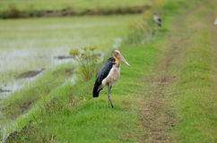 Lesser adjutant Royalty Free Stock Images