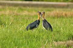 Lesser Adjutant Stock Photography