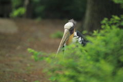 Lesser adjutant Royalty Free Stock Image