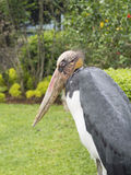 Lesser Adjutant Leptoptilos-javanicus Vogel in Indonesien Stockfoto