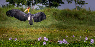 Lesser Adjutant. Royalty Free Stock Photography