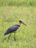 Lesser adjutant stork Royalty Free Stock Photo
