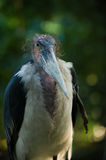 Lesser Adjutant Stork. This is a Lesser Adjutant Stork ,Leptoptilos javanicus in Latin. It's a huage African carnivorous bird---the bigest stock actually Stock Photography