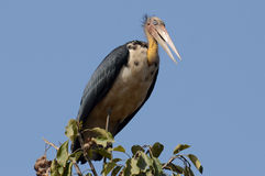 Lesser Adjutant Stork Bird Fotos de Stock Royalty Free