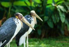 Lesser adjutant stork_ Stock Image