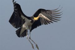 Lesser Adjutant Stork stock photos