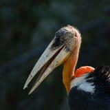 Lesser adjutant stork or Leptoptilos javanicus. Stock Photography