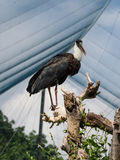 Lesser adjutant stork Royalty Free Stock Photos