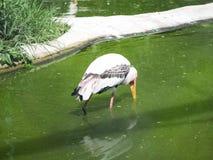 Lesser adjutant stork Stock Photo