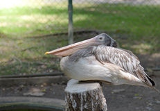 Lesser adjutant stork in the nest Royalty Free Stock Photography