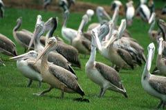Lesser adjutant stork Stock Image