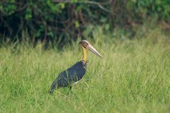 A Lesser adjutant stork in the tall grass. The lesser adjutant is a large wading bird in the stork family Ciconiidae. Like other members of its genus, it has a royalty free stock photography