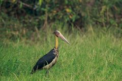 The Lesser Adjutant Stork up close. The lesser adjutant is a large wading bird in the stork family Ciconiidae. Like other members of its genus, it has a bare stock photo