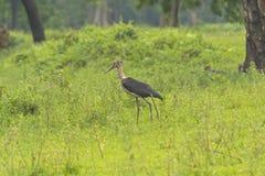 Lesser Adjutant Stork in the Wilds Stock Photos