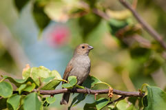 Lesser Antillean bullfinch perching on a branch Royalty Free Stock Image