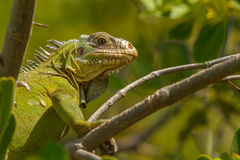 Lesser Antillean Iguana Royalty Free Stock Photos