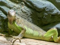 Lesser Antillean Iguana, Iguana delicatissima is on the farm to eat. The Lesser Antillean Iguana, Iguana delicatissima is on the farm to eat stock photos