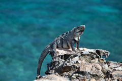 Lesser Antillean Iguana en Isla Mujeres Punta Sur Acantilado del Amanecer - acantilado del amanecer - cerca de Cancun México Fotos de archivo libres de regalías