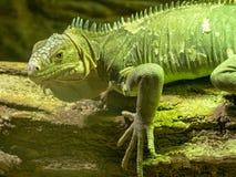 Lesser Antillean iguana, iguany delicatissima jest na gospodarstwie rolnym jeść obraz stock