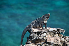 Lesser Antillean Iguana on Isla Mujeres Punta Sur Acantilado del Amanecer - Cliff of the Dawn - near Cancun Mexico Royalty Free Stock Photography