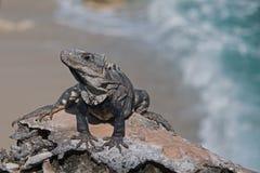 Lesser Antillean Iguana on Isla Mujeres Punta Sur Acantilado del Amanecer - Cliff of the Dawn - near Cancun Mexico Stock Photography