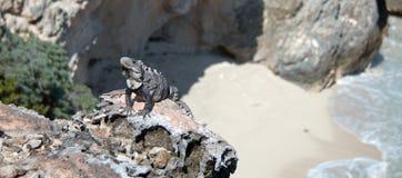 Lesser Antillean Iguana on Isla Mujeres Punta Sur Acantilado del Amanecer - Cliff of the Dawn - near Cancun Mexico Royalty Free Stock Image