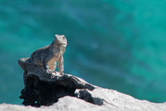 Lesser Antillean Iguana on Isla Mujeres Punta Sur Acantilado del Amanecer - Cliff of the Dawn - near Cancun Mexico Stock Images