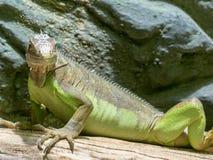 Lesser Antillean Iguana, Leguaandelicatissima is op het te eten landbouwbedrijf stock foto's