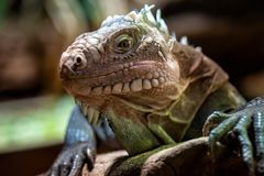 Lesser Antillean iguana. A critically endangered large arboreal lizard royalty free stock photos