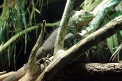 Lesser Antillean iguana. On the tree Stock Photo