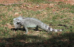 Lesser Antillean Iguana sur la Martinique Photos libres de droits