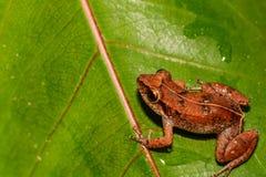 Lesser Antillean Whistling Frog stock afbeeldingen