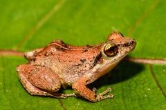 Lesser Antillean Whistling Frog stock foto's