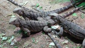 Lesser Antilles Iguana - delicatissima de la iguana almacen de metraje de vídeo