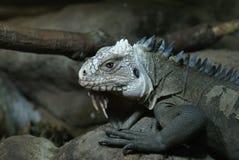 Lesser Antilles Iguana - Iguana delicatissima Royalty Free Stock Image
